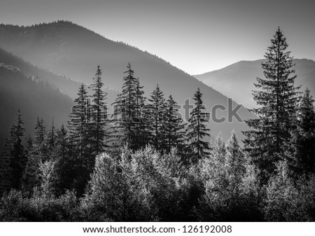black and white picture of mountains in morning with firs in foreground
