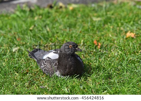 Black and white pigeon on the lawn