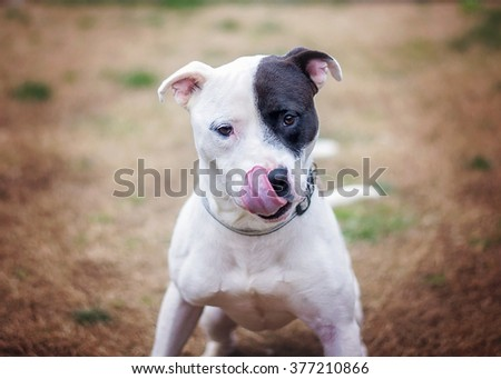 Black and White Pit Bull Mix Licking Nose