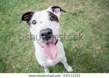 Black and white pitbull mix dog sitting in the park - stock photo
