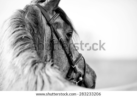 Black-and-white portrait of a sports stallion in a bridle. - stock photo
