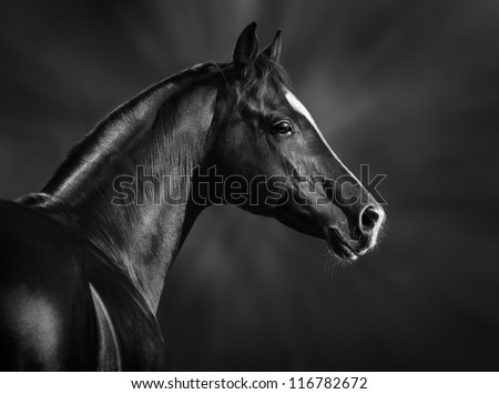 Black and white portrait of arabian horse - stock photo