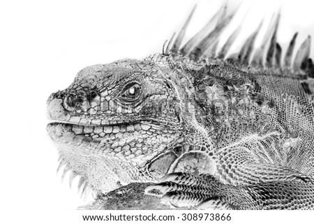 Black and white portrait of Green Iguana, Reptile. Invert image on white background - stock photo
