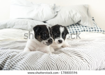 Black and White Puppies on Striped Bed - stock photo