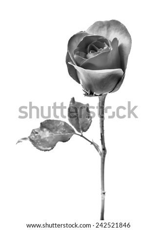 Black and white rose on white background. - stock photo