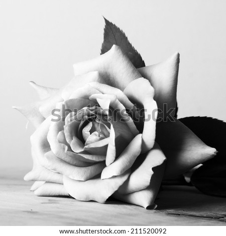 black and white roses - stock photo