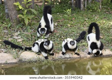 Black and white ruffed lemur near the ponds - stock photo