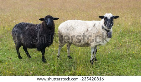 Black and white sheep in the meadow. - stock photo
