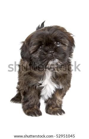 black and white shih tzu puppy  isolated on a white background - stock photo
