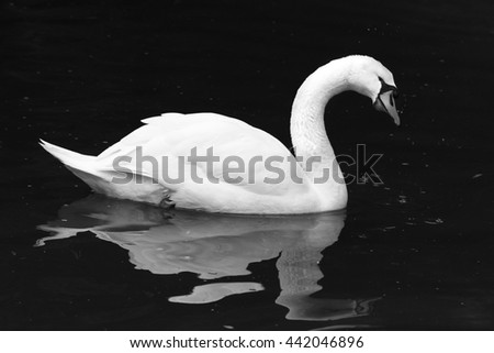 Black and white shot of a Swan on a Lake. - stock photo