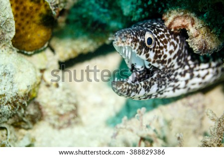 Black and white spotted puffer fish, hiding under coral on reef in Caribbean - stock photo