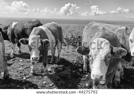 black and white stock photo of cows/bulls over looking the ocean - stock photo