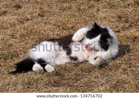 black-and-white street cat licking its fur in the grass - stock photo