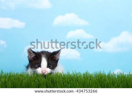 black and white  tabby kitten in tall grass with blue sky background white fluffy clouds. crouched down to pounce, pupils dilated  - stock photo