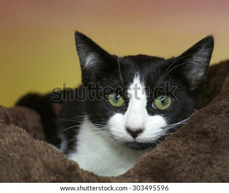 Black and white tabby kitten with green eyes anxious peaking out of a brown bed with pink and yellow textured background. Yellow Green eyes - stock photo
