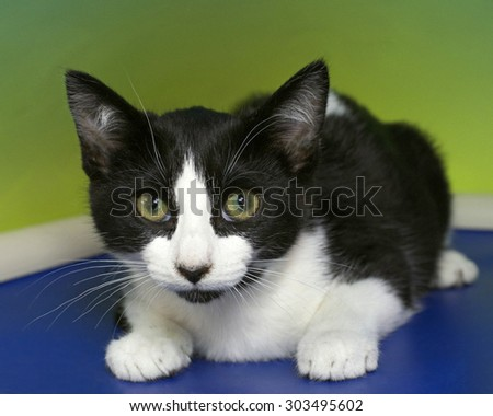 Black and white tabby kitten with green eyes crouched on a blue bed mat with green yellow textured background. Yellow Green eyes - stock photo