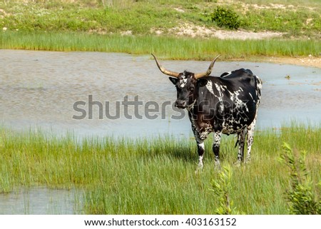 Black and White Texas Longhorn - stock photo