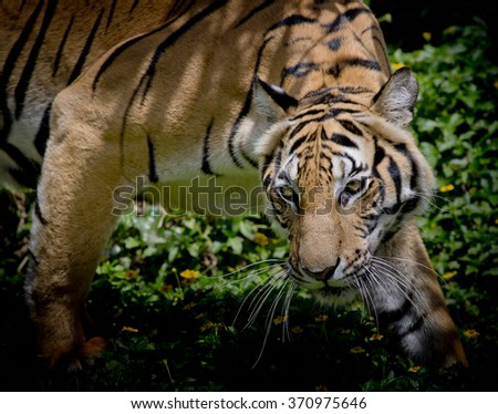 Black and White Tiger looking his prey and ready to catch it. - stock photo