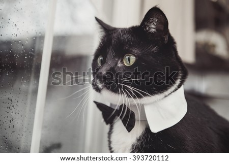 Black and White tuxedo cat wearing a bowtie looking out a window - stock photo