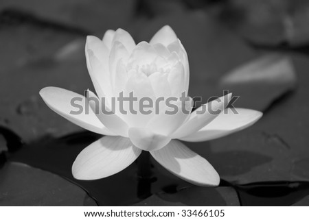 Black and white water lily, beautiful flower - stock photo