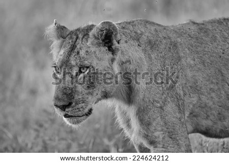 Black and White Young Male Lion in Kruger National Park  - stock photo