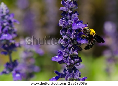 Black and yellow Bumble bee (Bombus terrestris) collecting nectar and pollen from purple lavender flowers - stock photo