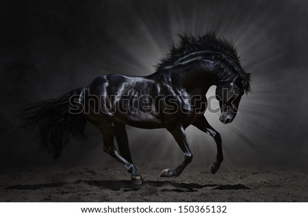 Black Andalusian stallion gallops on dark background - stock photo