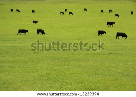 Black Angus beef cattle grazing in a lush pasture