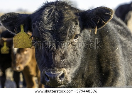 Black Angus calf face lit from the right