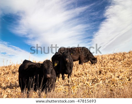 black angus cattle in south dakota - stock photo