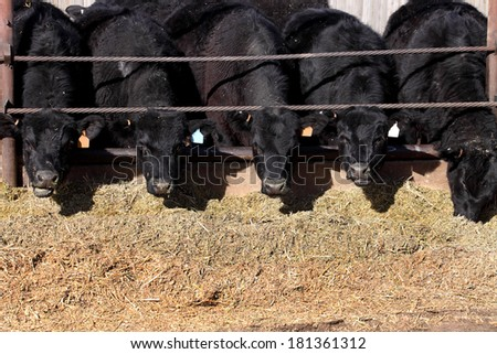 Black angus cows feeding - stock photo
