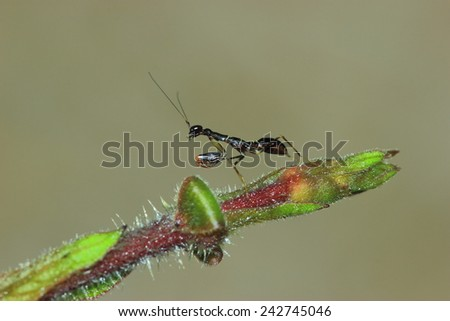 Black ant mantis, it is very small. - stock photo