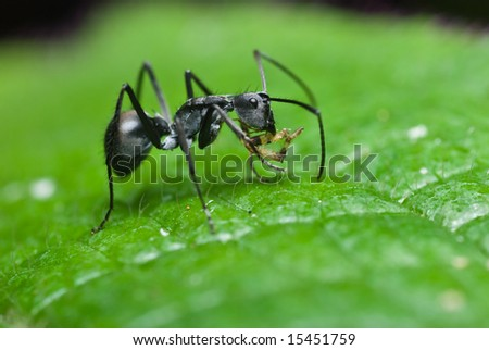 Black ant on leaf