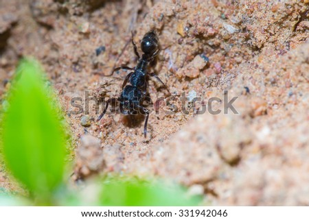 Black ant on the ground.