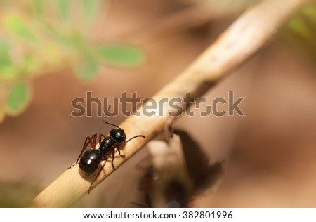 Black ant walking on the wooden