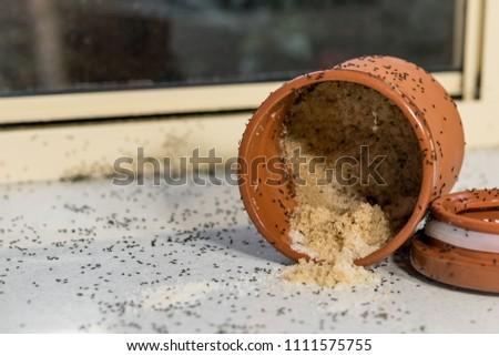 Black Ants Problem Black Ants Sugar Stock Photo (Royalty Free ...