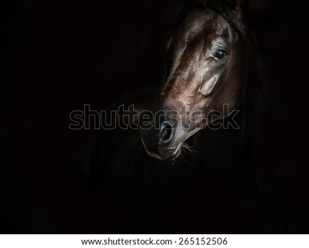 Black arab horse over a black background