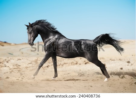 black arab horse running in desert - stock photo