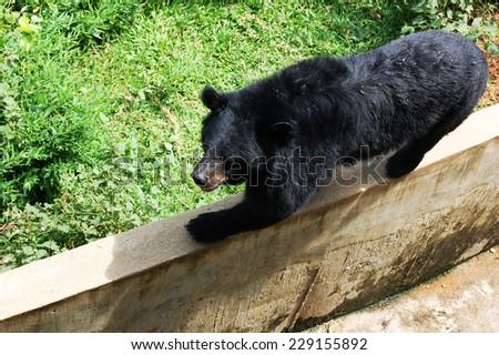 Black Asian bear - stock photo