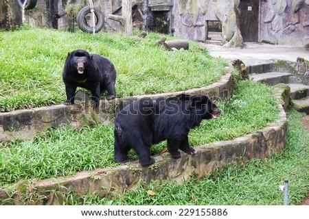 Black Asian bears are posing - stock photo