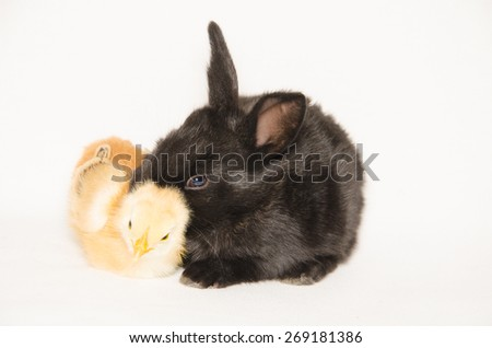 Black baby bunny and chick sleeping together isolated on white background. - stock photo
