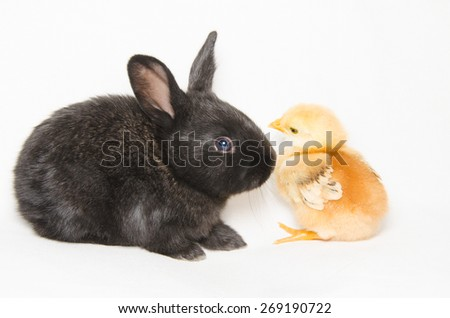 Black baby rabbit looking a little chick - stock photo