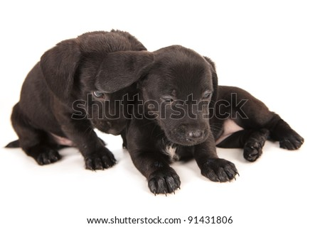 Black bachshund puppies, isolated on white - stock photo