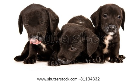Black bachshund puppies with Messy mouths, isolated on white - stock photo