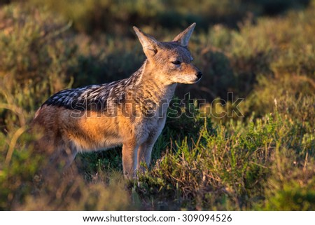 Black backed jackal at sunset watching out looking for prey