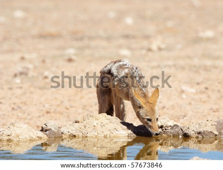 Black-backed Jackal (Canis mesomelas) drinking water from a dam in South Africa - stock photo