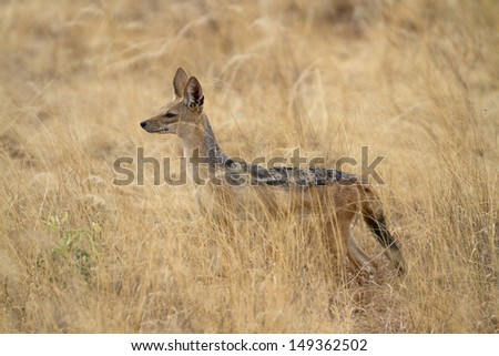 Black-backed jackal in yellow grass - stock photo