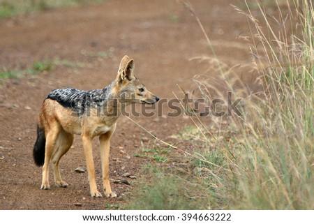 Black-backed jackal, Maasai Mara Game Reserve, Kenya - stock photo