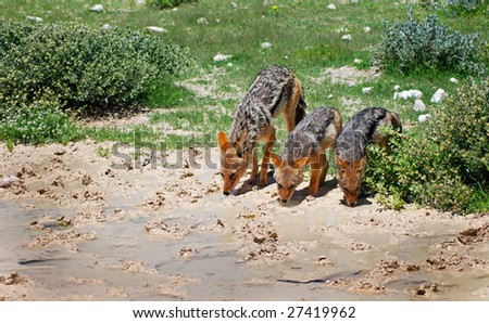 Black backed jackal mother and babies - stock photo