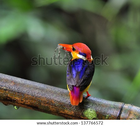 Black-backed Kingfisher, Ceyx erithacus, a little tiny and colorful kingfisher showing big spider in bills, bird of Thailand